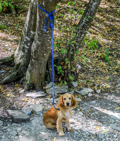 Red dog on a leash tied to the trunk of a tree. 版權商用圖片