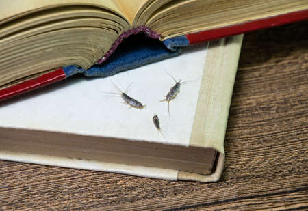 Insect feeding on paper - silverfish. Pest books and newspapers. silverfish of several pieces near the open book. Stok Fotoğraf