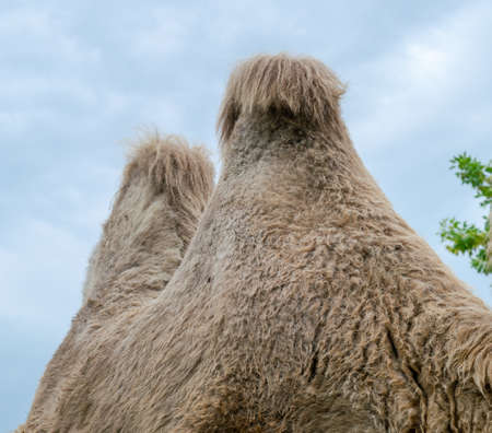 A two-humped camel in the city park. Camel walking in the park.