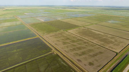 Growing rice on flooded fields. Ripe rice in the field, the beginning of harvesting. A birds-eye view. Flooded rice paddies. Agronomic methods of growing rice in the fields. Flooding the fields with water in which rice sown. 版權商用圖片