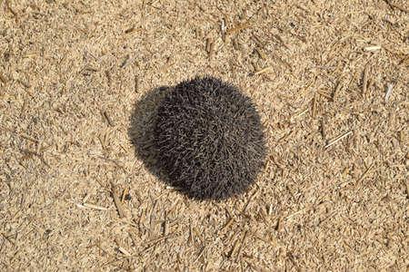 Hedgehog on rice husk. Hedgehog curled up into a ball.