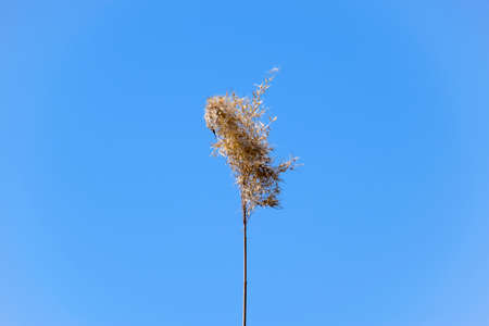 A panicle of reed dried against a blue sky