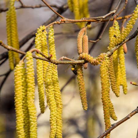 Flowering hazel hazelnut. Hazel catkins on branches