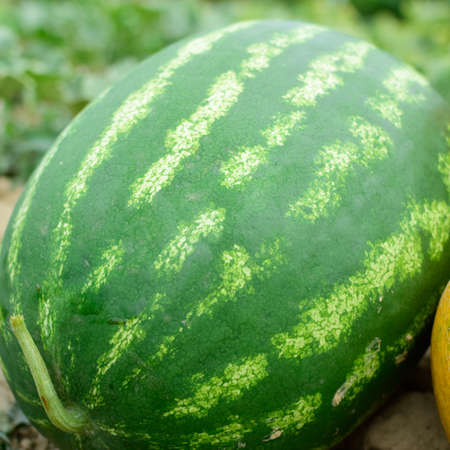 Melon and watermelon, plucked from the garden, lay together on the ground. Ripe melon and watermelon the new harvest.