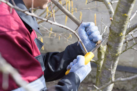 A man cuts down a tree branch with a hand garden saw. Pruning fruit trees in the garden. Reklamní fotografie