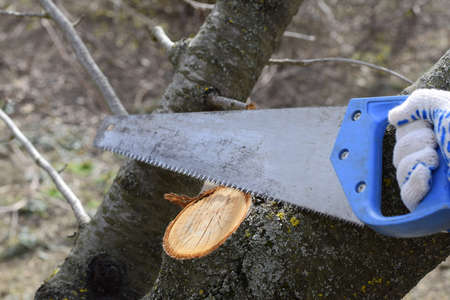 Cutting a tree branch with a hand garden saw. Saw a hacksaw at the cut branch. Pruning fruit trees in the garden. Reklamní fotografie