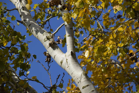 Silver poplar in autumn paint against the blue sky. Yellow Poplar Leaves Stock fotó