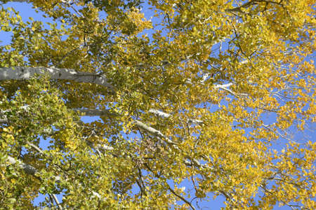 Silver poplar in autumn paint against the blue sky. Yellow Poplar Leaves Stock fotó - 119524856