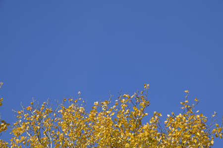 Silver poplar in autumn paint against the blue sky. Yellow Poplar Leaves Stock fotó - 119587191