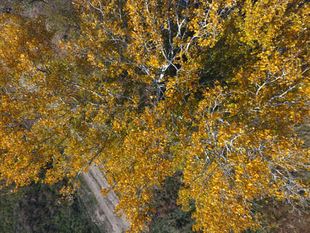 Yellow leaves on a silver poplar, top view of a poplar tree in the fall.