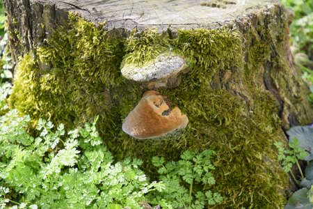 Mushroom on a stump of sawn plum overgrown with moss.