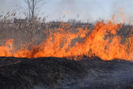 Brand op een perceel droog gras, verbranding van droog gras en riet, vlammen en as.