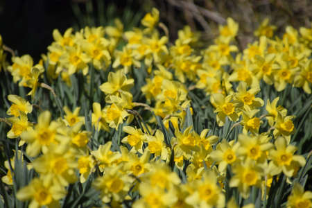 Narcissus buds are revealed completely. Blooming buds of daffodils in a flower bed. Stock fotó