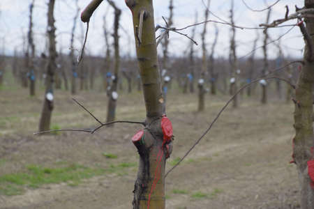 Apple trees in the garden, pruning apple trees, protecting cut branches with paint coating.