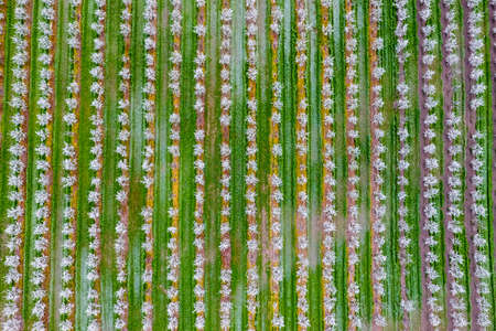 Blossoming young plum garden, top view. Span of the drone over the plum blooming garden 스톡 콘텐츠