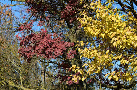Color of leaves of cotinus coggygria and wild apricot. Trees in a forest belt in the fall. Stock Photo