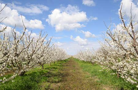 Blühender Pflaumengarten. Bauerngarten im Frühjahr.