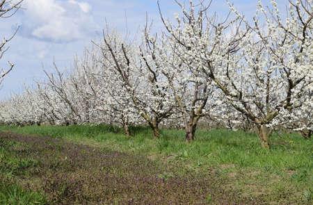Flowering plum garden. Farm garden in spring. Standard-Bild