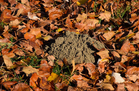 mound of earth from the burrow of a mole. A trace of a mole on the soil