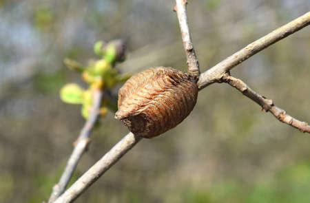 Ootheca hierodula transcaucasica on a branch. Pending the winter mantis eggs in a dense cocoon. Banco de Imagens