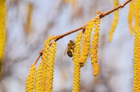 Pollination by bees earrings hazelnut. Flowering hazel hazelnut. Hazel catkins on branches Banco de Imagens