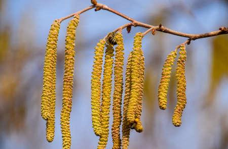 Pollination by bees earrings hazelnut. Flowering hazel hazelnut. Hazel catkins on branches Imagens