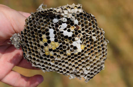 Sota from the nest of wasps. Vespula vulgaris. Destroyed hornet's nest. Drawn on the surface of a honeycomb hornet's nest. Larvae and pupae of wasps.