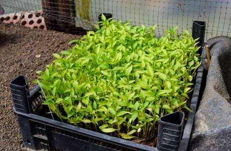 Seedlings of pepper. Pepper in greenhouse cultivation. Seedlings in the greenhouse. Growing of vegetables in greenhouses 写真素材