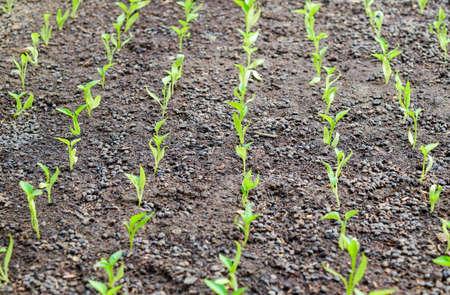 Seedlings of pepper. Pepper in greenhouse cultivation. Seedlings in the greenhouse. Seedlings of pepper. Growing of vegetables in greenhouses