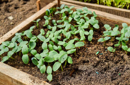 Shoots of cucumbers. Dicotyledonous leaves. Seedlings cucumbers. The cultivation of cucumbers in greenhouses. Seedlings in the greenhouse. Growing of vegetables in greenhouses Reklamní fotografie