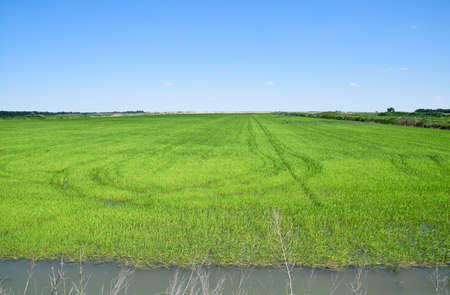 Field of rice in the rice paddies. Rice cultivation in temperate climates.