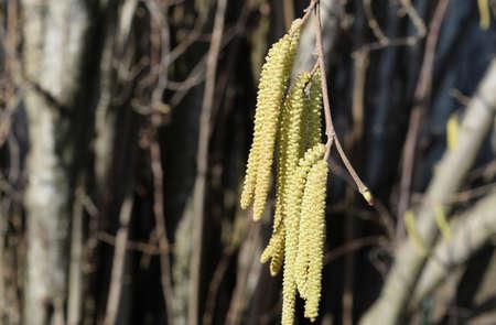 Flowering hazel hazelnut. Hazel catkins on branches. Banco de Imagens
