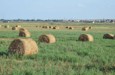The Haystacks in the field. Summer haymaking.