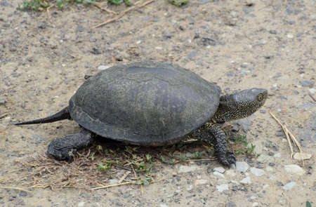 The tortoise lies on bare soil. Ordinary river tortoise of temperate latitudes. The tortoise is an ancient reptile