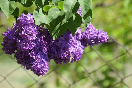 Flowers blooming lilac. Beautiful purple lilac flowers outdoors. Lilac flowers on the branches Stock fotó
