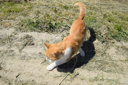Red cat on a dirt road. Domestic red white cat.