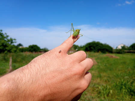 Grasshopper isofia on the mans hand. Isophage insect. Stock Photo - 124528525