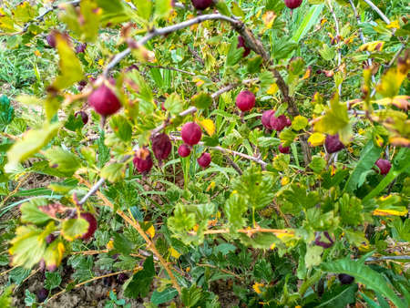 Gooseberry berries on the branches of the bush.