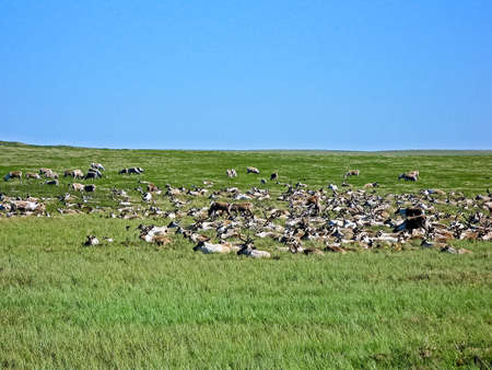 Reindeer in the tundra. Pastures for deer. Reindeer breeding