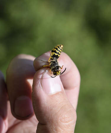 Common wasp on pinched fingers. Caught wasp.