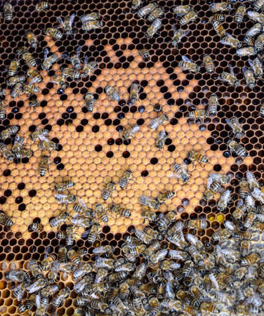Honey bees on the home apiary. The technology breeding of honey bees. 免版税图像