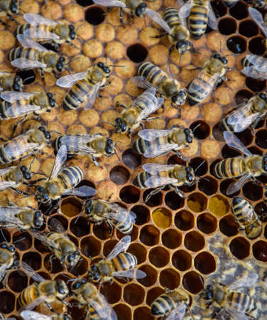 Honey bees on the home apiary. The technology breeding of honey bees. Stock Photo