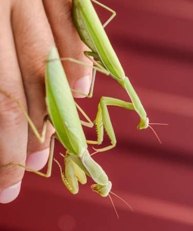 female and the mantis are sitting on the palm of a man. Insect predator mantis