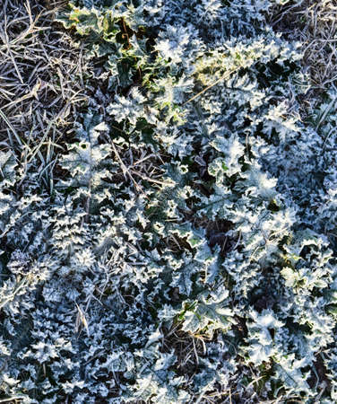 Leaves of grass with snow. Frozen ground. Background of the soil and snow. Banco de Imagens