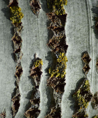 Background from poplar bark. Texture of bark of a tree. Stockfoto