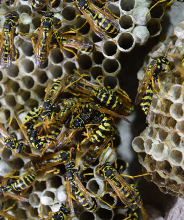 Wasp nest with wasps sitting on it. Wasps polist. The nest of a family of wasps which is taken a close-up.