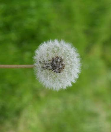 Pissenlit mûr dans l'herbe. Sélection de graines de plantes. Banque d'images