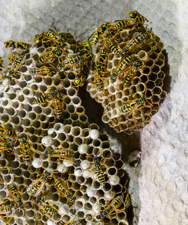 Wasps polist. The nest of a family of wasps which is taken a close-up.