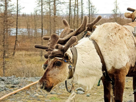 Reindeer in the tundra. Pastures for deer. Reindeer breeding