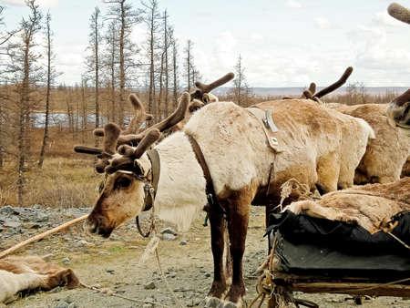 Reno en la tundra. Pastizales para ciervos. Cría de renos